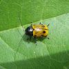 Cylindrical Leaf Beetle