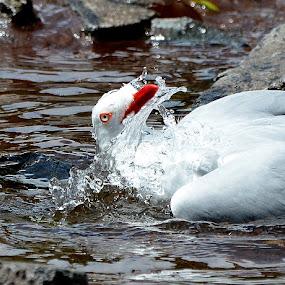 water freedom  by Zhenya Philip - Animals Birds ( macro, bird, animal, water, photography )