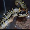 Wagler's Viper