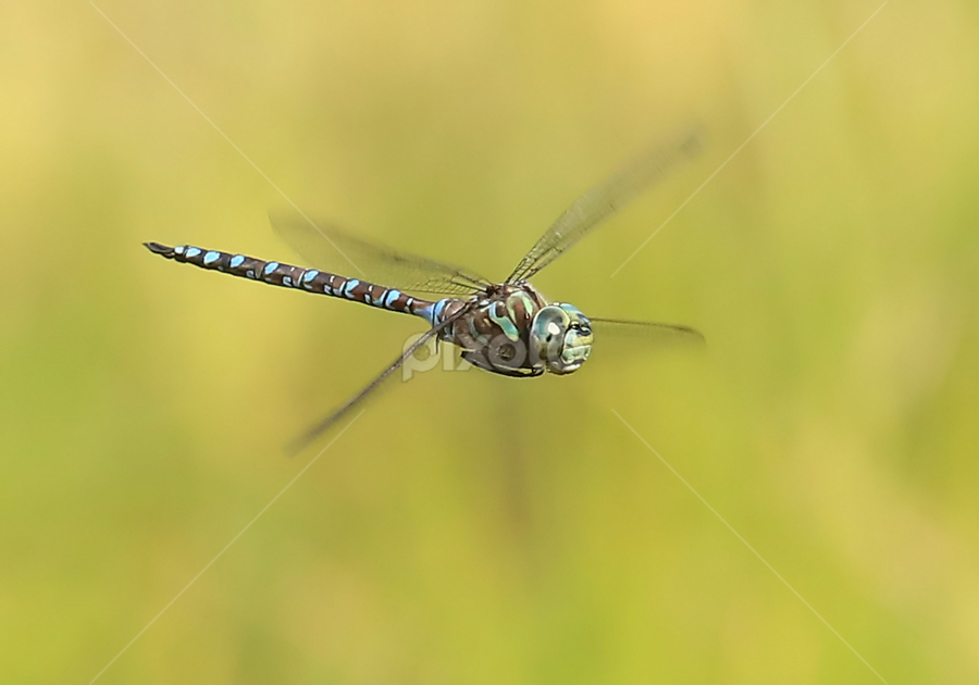 DIF by Erin  Thomsen - Animals Insects & Spiders ( redmond, canada, dragon, odes, odonata, king, canada darner, washington, flying, county, blue, darner, dragonfly,  )