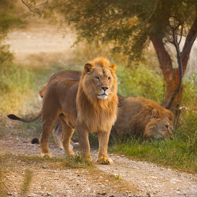 two lions in green brush by Marjorie Speiser - Animals Lions, Tigers & Big Cats ( lion, green, bush, lions )