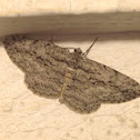 Pale winged gray