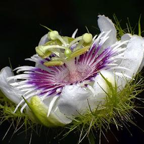 Passiflora foetida by Helnis Susanto Johannis - Flowers Single Flower