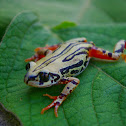 Weale's Running Frog
