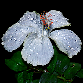 White Hibiscus by Hafiz Ursa - Flowers Single Flower ( hibiscus with waterdro, hibiscus, single flower, white, flower )