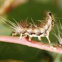 Parasitized caterpillars