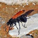 Tarantula Hawk (Wasp)