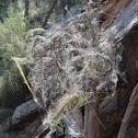 Golden orb web