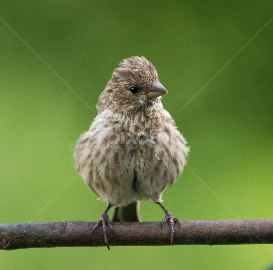 Fluffing Up by Janet Lyle - Animals Birds ( wildlife, birds )