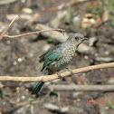 Verditer Fly Catcher - Juvenile
