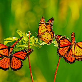 honeymooning by Anna Trandeva - Animals Insects & Spiders ( flying, five, butterflies, couples )