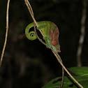 Short horned chameleon
