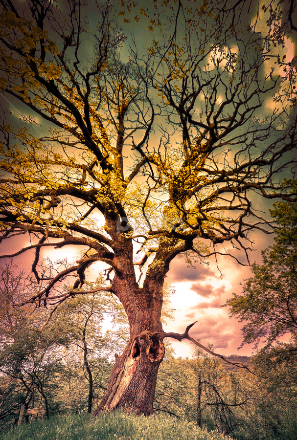 Old Oak by Игор Ђорђевић - Nature Up Close Trees & Bushes