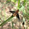Bombyliidae Fly.