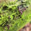 Comatricha nigra [ ripe brown ]-(nl - Langstelig kroeskopje )