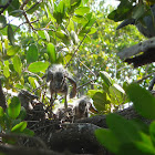 baby yellow crowned knight herons