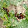 Larva del escarabajo de la patata