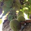 Australian Fig Tree