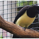 The Plush-crested Jay