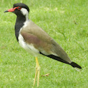 Red Wattled Lapwing(ટીટોડી)