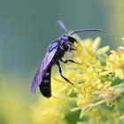 small black mason bee