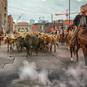 Cattle Drive by Hans Watson - People Professional People ( cowboy, street, denver, longhorns, cattle, steam,  )