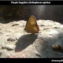 Purple Sapphire (Heliophorus epicles)