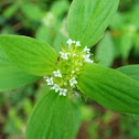 False Buttonweed