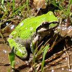 Sierrian  Treefrog