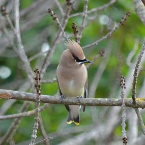 Cedar Waxwing by Ed Hanson - Animals Birds ( bird, topnotch, bush, gray, feathers )