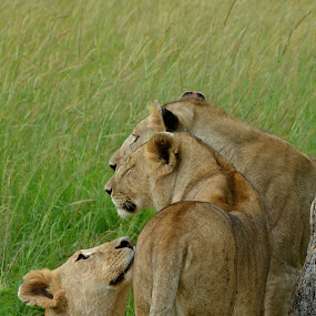 Young Lionesses  by Janet Rose - Novices Only Wildlife (  )