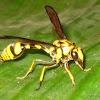 Potter Wasp?