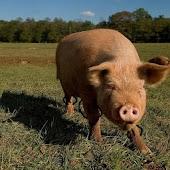 Beefy Pigs