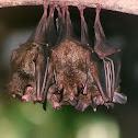 FOREST BATS
