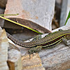 Four-lined Ameiva/Whiptail