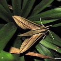Striped Green Hawkmoth