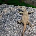 Bengal Monitor Lizard