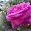 Pink Rose ( गुलाब )