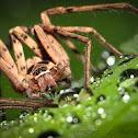 Huntsman spider (male)
