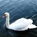 Mute Swan / Cisne mudo o blanco.