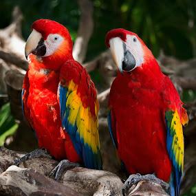 Meet the Rainbow by Wojciech Toman - Animals Birds ( ara macao, jungle, mexico, south america, yucatan, xcaret, birds, animal, macaw )