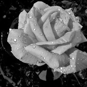 Ruža,prekrivena kišnim kapima. by Katica Pecigoš-Kljuković - Black & White Flowers & Plants ( kišna jesen )