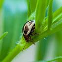 Ragweed leaf beetle