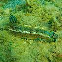 Dorid slug (nudibranch)