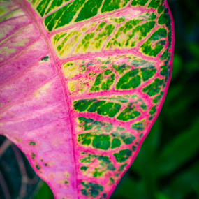 Colorful leaf by Shirley Cohen - Nature Up Close Leaves & Grasses ( macro, shirley cohen photography, shirleycohenphotography, flowers, maui hawaii, leaves )