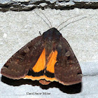 Large Yellow Underwing Moth