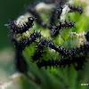 Map Butterfly Caterpillar