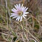 Pineland Daisy