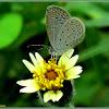 Tiny Grass Blue Butterfly