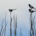 Eurasian Magpies, urracas